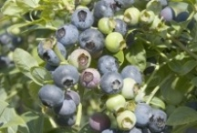Edible Berry Shrubs