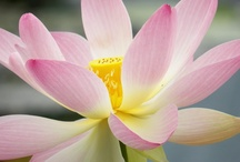 Water Lilies - Photos for Sale / Enjoy the beauty of the Water Lily Flower.