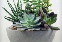 Jardim, Suculentas e Cactus