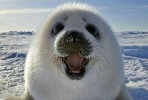 Seal - Fóka