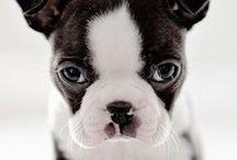 Boston terrier love