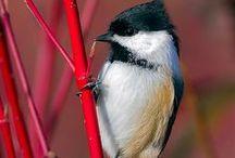 winged - feebee & friends / cardinal chickadee junco nuthatch / by deirdre lee