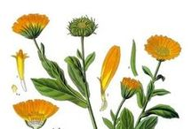 Calendula / In addition to soothing relief for dry, itchy and cracked skin, Calendula aids in reducing scarring of already-healed wounds. Calendula is known to have anti-inflammatory properties for sprains and other swellings and also calms skin that's been over-exposed to sun and cold/dry air.