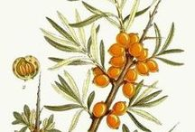 Seabuckthorn / Reduces swelling and accelerates healing