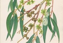 Eucalyptus  / Used topically for inflammation of respiratory tract mucous membranes, rheumatic complaints, rheumatoid arthritis and nasal stuffiness. This wonderfully refreshing, green-smelling pure essential oil works wonders.