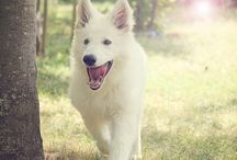 Berger Blanc Suisse │White German Shepard | Future Dog