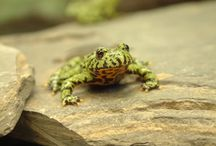Fire Bellied Toad | Frog | Pet