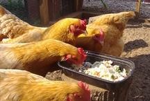 Farm ~ Chickens / by Robin Mundy