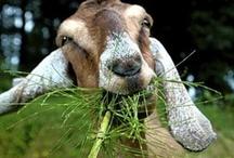 Farm ~ Goats / by Robin Mundy