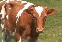 Farm ~ Cows