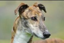 Gorgeous Greyhounds