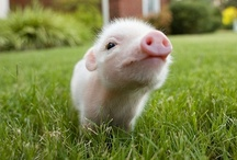 Aminals: Pigs / by Melissa Atwell