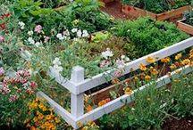 Home Grown / Vegetable Gardening.  Growing your own food.  Indoor plants.