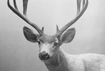 Oh Deer / King of the forest - Hjort is my last name, hjort means deer!
