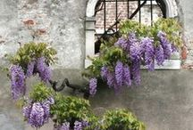 Wisteria / by Maureen