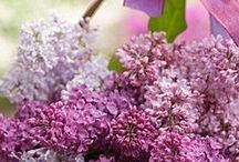 Lilac's / by Maureen