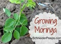Garden: Food - Florida / Tips and advice on selecting seeds, gardening and growing food plants and trees (fruits, veggies, nuts, mushrooms, etc.) in Florida, on the Gulf Coast, and in the deep South.