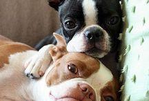 Boston terriers / by Jennifer Wright