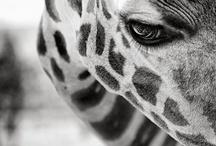 'raffes / all giraffes, all the time