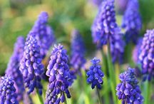 Front garden / Blue flowers, purple flowers, white flowers. Garden  / by Kathryn Smith
