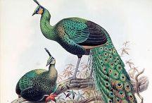 I love peacock
