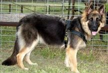 The German Shepherd Dog / by Lola Stude