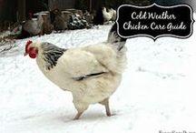 Chicken Living