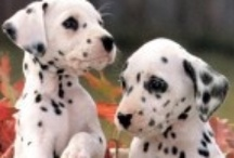 100 and some dalmations / Do you see spots before your eyes?  Gorgeous dogs.  Good with children too, I understand. / by Soso Hassan