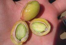 Pistachio Harvest / Wonderful Pistachios harvest / by Wonderful Pistachios