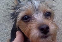 Chorkie Love - I LOVE MY DOG