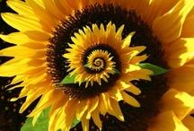 Sunflower's / by Angela Stepp