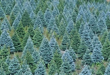 Christmas Trees / Christmas trees; real and digital; with and without decorations.