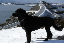 Landsbyliv Hundeliv / This is the spot for our cool PWD - portis - portuguese water dog.    Smart , active , loving -  always ready to work.