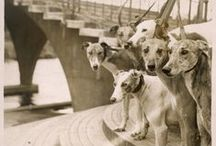 Greyhound History. / Historical photographs of Greyhounds, Whippets and other sighthound dogs.