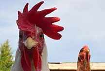 Urban Chick / Do I really want chickens in the yard?  Maybe just the super-cool chicken coop...