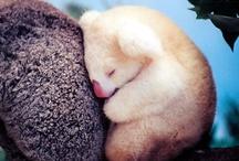 Koala <3