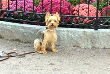 The Boutique: Yorkie Love / Stuart, our mascot, and a celebration of the world's greatest dogs!