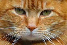 Red tabby cats / Marmelade, peaches, Garfield, pumpkin...