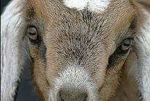 Goats / by Dorita