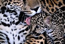 leopard, leopard, leopard