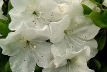 White Garden / Please show respect.  Please do not pin more than 10 pins from this board.  Thank you. / by Judy Crovisier