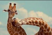 Giraffes. / by Emily Threlkeld