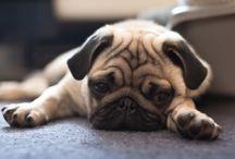 Pugs, not drugs / Pugs, Pugs and more Pugs