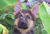 Luke Milani / Luke the German Shepherd Puppy