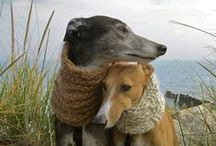 Wonderful Whippets / I have 2 beautiful whippet girls, who the world revolves around. Some Greyhounds feature here too <3