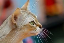 My work - Exhibition of cats / exhibition of cats Persian, Exotic, Maine Coon, Norwegian Forest, Ragdoll, Siberian, Turkish Angora, Bengali, British Shorthair, Cornish Rex, Devon Rex, Don Sphynx, Russian Blue, Singapura, Sphynx, Oriental & Siamese