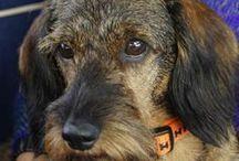 Gravhundeliv - Life of a dachshund / En gravhund - Den bedste ven man kan tænke sig. Wirehaired Ronja and longhaired Alberth.