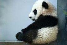 Panda's (because they ROCK)