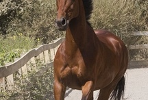 Caballo, Cheval, Lio, Equus / by Stacey Cabral