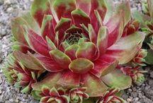 Succulents   ✽ DIY   [* ❀ *]